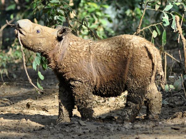 необычные животные. Суматранский носорог