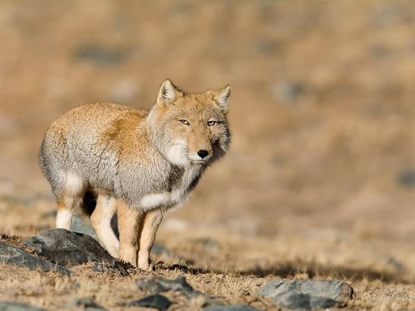 необычные животные. Тибетская лиса