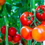 Польза и вред помидоров. Интересные факты о популярном овоще