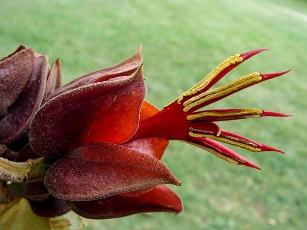 Необычные растения. Хирантодендрон