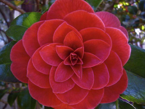 Редкие цветы. Красная камелия