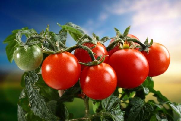 Польза и вред помидоров. История появления