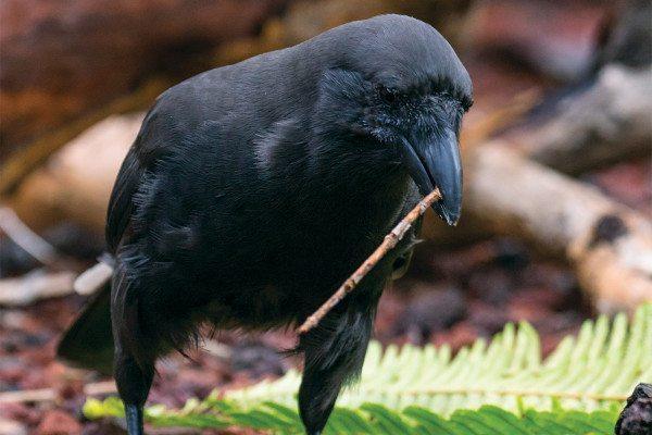 Интересные факты о воронах. Питание