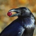 Интересные факты о воронах. Отбросим прочь суеверия!