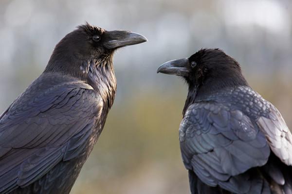 Интересные факты о воронах. Жизнь