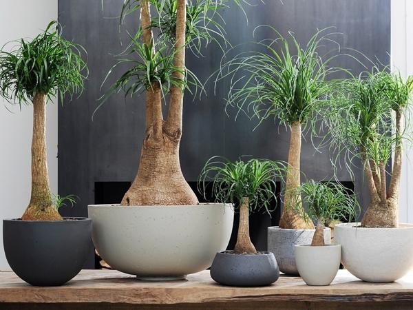 Неприхотливые комнатные растения. Бокарнея