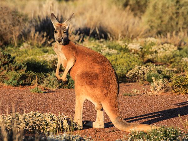 Самые быстрые животные. Большой рыжий кенгуру