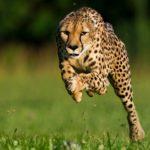 Наперегонки с ветром. ТОП-8 самых быстрых животных планеты