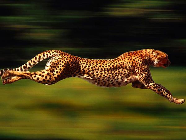 Самые быстрые животные. Гепард