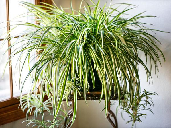 Неприхотливые комнатные растения. Хлорофитум