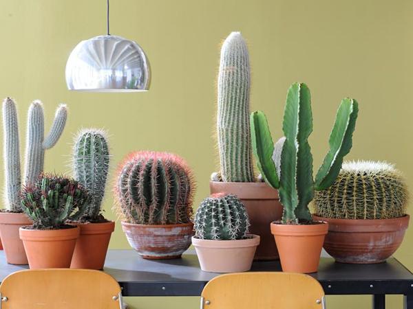 Неприхотливые комнатные растения. Кактусы