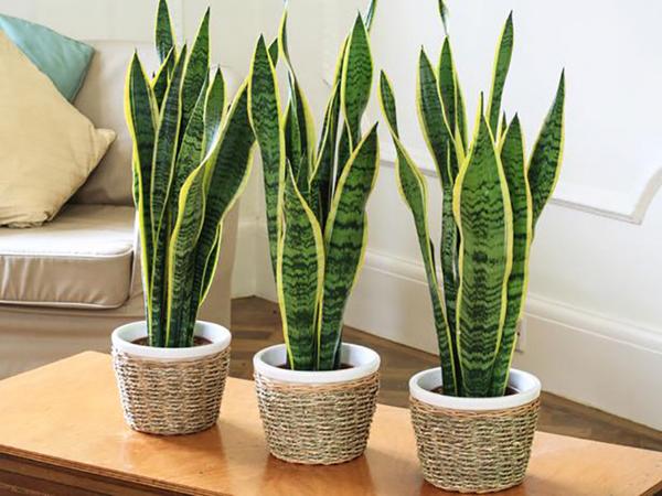 Неприхотливые комнатные растения. Сансевиерия