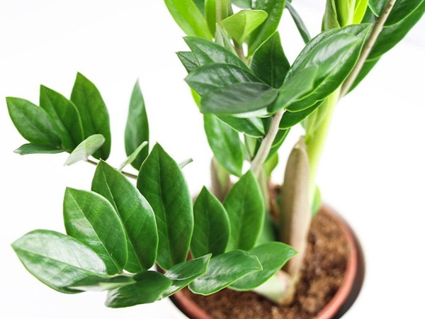 Неприхотливые комнатные растения. Замиокулькас