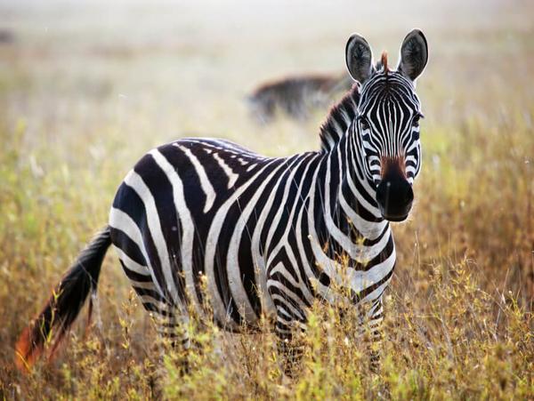 Самые быстрые животные. Зебра