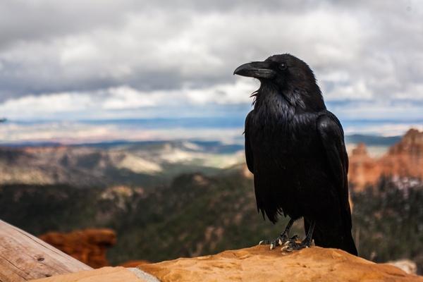 Интересные факты о воронах. «Родственники»