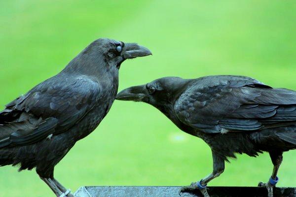 Интересные факты о воронах. Общение
