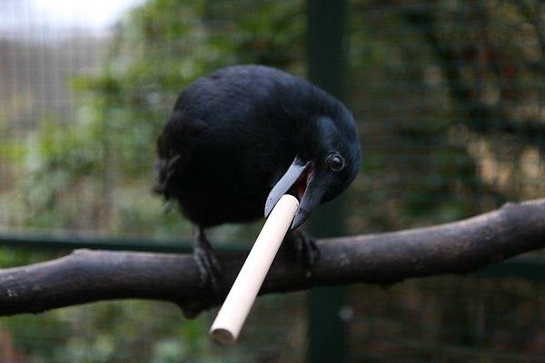 Интересные факты о воронах. Игры