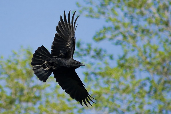 Интересные факты о воронах. Мышление
