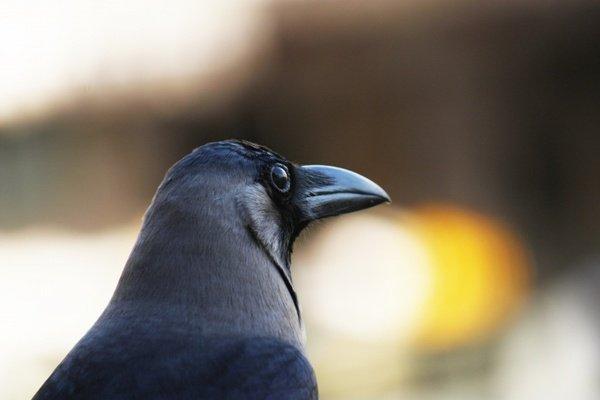 Интересные факты о воронах. Способности