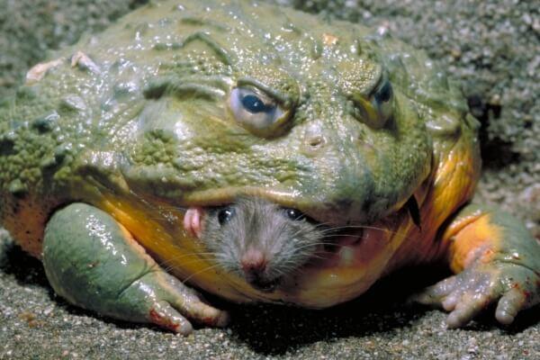 Самые огромные животные в мире. Лягушка Голиф