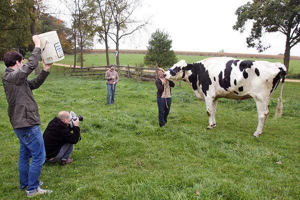 Корова Блоссом